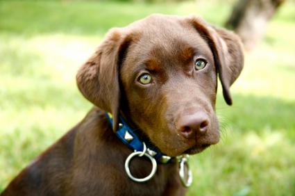 Chocolate_lab_puppy